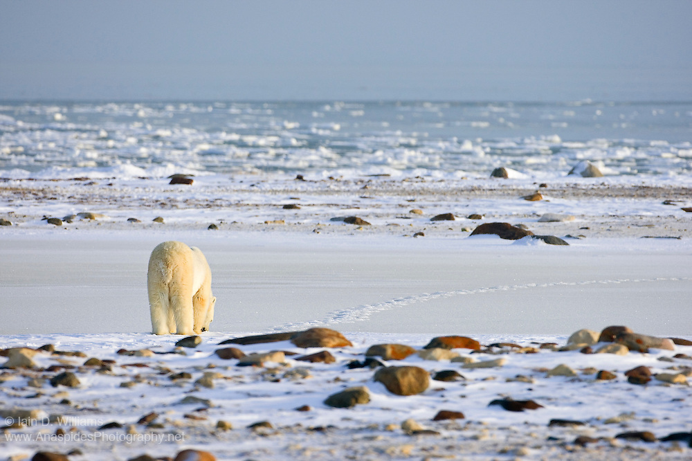 A sole polar bear follows the track of another bear along the shore of Hudson Bay in Canada.  The bear is patiently waiting for the sea ice to form