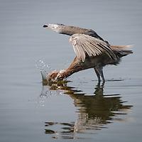 Egretta rufescens