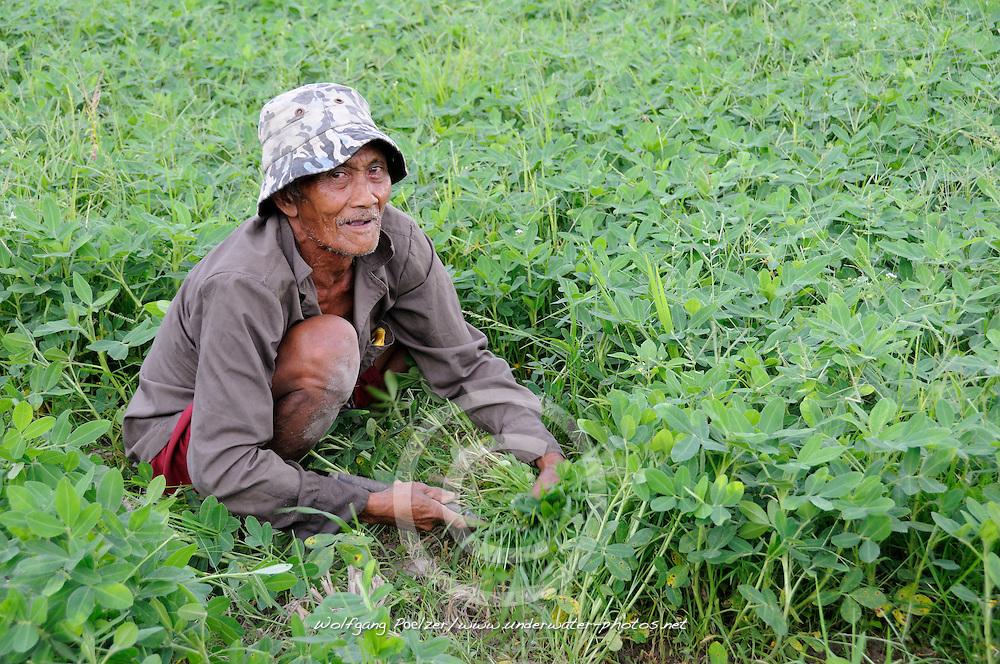 Alter Mann schneidet Klee, Kleefeld auf Bali, old man cutting clover, trefoil field, Bali, Indonesien, Indonesia, Asien, Asia