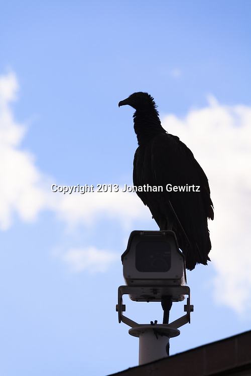 A Black Vulture (Coragyps atratus) stands on top of a video camera on the Anhinga Trail in Everglades National Park, Florida. WATERMARKS WILL NOT APPEAR ON PRINTS OR LICENSED IMAGES.