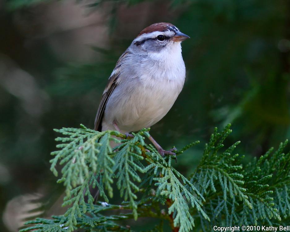 Image of a sparrow on cedar tree.