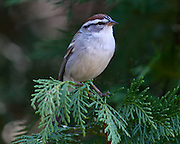 Image of a sparrow on cedar tree.