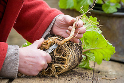Taking root cuttings from pot grown Acanthus mollis 'Hollard's Gold'. Trimming off larger roots