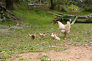 free roaming Chicken and chicks