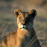 Africa, Botswana, Chobe National park, Lioness (Panthera l eo) sits in morning sun in Savuti Marsh at start of dry season