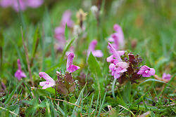 Lousewort growing in damp boggy ground. Pedicularis sylvatica