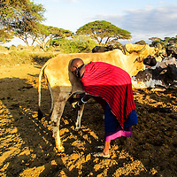 """A young woman called Ngonina, is pictured milking a cow at break of dawn.<br /> """"Milk is one of the most valued commodities in a Maasai home, especially cow milk. In many traditional Maasai homes, cow milk is reserved for adults, especially the man of the home, to make tea for visitors and in some cases its taken by new mothers for relief while the children take goat milk."""" ~ Esther Tinayo"""