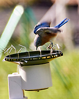 Eastern Blue Bird. Image taken with a Nikon 1 V3 camera and 70-300 mm VR lens.