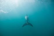 Cephalorhynchus hectori maui (Maui's dolphin)