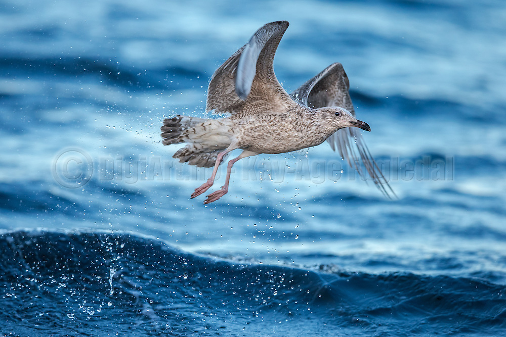 Seagull takeoff with waterspray   Måke som letter med sjøsprøyt.