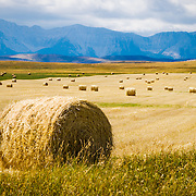 A wheat field and bale of hay near the Rocky Mountains during harvest time in southern Alberta, Canada.