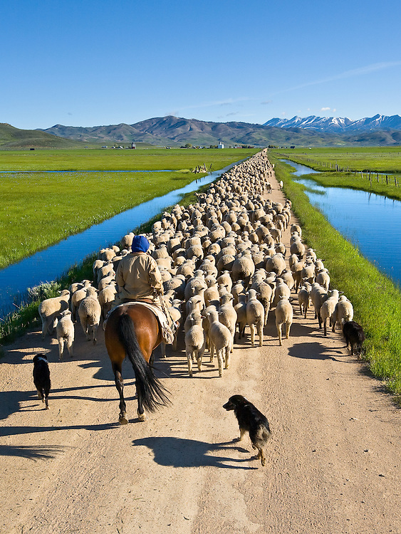 Huge flock of sheep are herded by sheepherder on his horse and sheep dogs move along a Camas Prairie dirt road toward Hill City in spring wetlands.  Licensing and Open  Edition Prints.