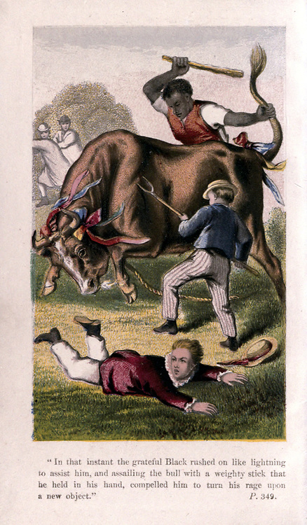 In that instant the grateful Black rushed on like lightning to assist him, and assailing the bull with a mighty stick that he held in his hand, compelled him to turn his rage on a new object. from the children's book ' The history of Sandford and Merton ' by Thomas Day, 1748-1789 Published in Philadelphia by J.B. Lippincott & Co. In 1868 with Six Color  engravings in steel