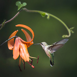 A Female Ruby-throated hummingbird is feeding on an orange Asiatic Tiger Lily, against a dark foliage green background. A Morning Glory vine tendril winds around the back.
