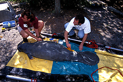 Florida, Tampa: Manatees in rehab at Lowry Park Zoo.  Endangered species.  flmana104..Photo copyright Lee Foster, 510/549-2202, lee@fostertravel.com, www.fostertravel.com