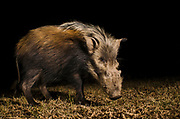 Bushpig (Potamochoerus porcus)<br /> Marakele Private Reserve, Waterberg Biosphere Reserve<br /> Limpopo Province<br /> SOUTH AFRICA<br /> RANGE: Water and forests of Central Africa & eastern fringes of Southern Africa