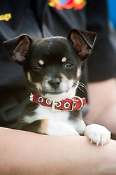 A small young black, white and tan, Chihuahua, puppy, laying, sitting, sat, laid, down,