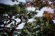 AIZUWAKAMATSU , JAPAN - Japanese pine tree - Matsu - pin japonais - August 2005