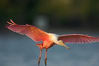 Roseate Spoonbill (Ajaia ajaja) in flight.