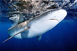 Galapagos sharks, .Carcharhinus galapagensis, .note nictitating membrane protecting eye, .North Shore, Oahu, Hawaii (Pacific)