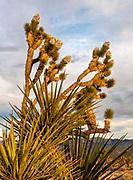Yucca and Joshua Tree at Sunset, Mojave National Preserve, California