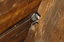 Grijze grootoor vleermuis Grijze grootoorvleermuis  Plecotus austriacus  Grey long-eared bat Le Oreillard gris, graues langohr