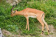 Impala ram eating leafy vegetation on a high bank of the Chobe River, Chobe National Park, © David A. Ponton