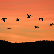 Canada Geese in flight over Bosque del Apache NWR, New Mexico.