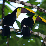 A pair of Chestnut-mandibled Toucans, or Swainson's Toucan (Ramphastos swainsonii) perched on a tree branch. Costa Rica