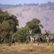 Burchell's Zebra, (Equus burchelli) Adults on Serengeti Plains. Masai Mara Game Reserve. Kenya. Africa.