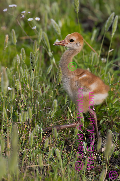 Sandhill crane downy chick walks up hill in in wetland meadow, © David A. Ponton