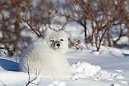 01863-01214 Arctic Fox (Alopex lagopus) in snow in winter, Churchill Wildlife Management Area, Churchill, MB Canada