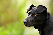 """Miss Tara Black Dog"" - Tasmania"