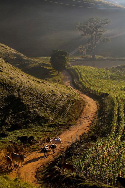 Domingos Martins_ES, Brasil...Gado na estrada historica denominada Rota Imperial da Estrada Real, antiga estrada Dom Pedro de Alcantra...A cattle on an ancient Rota Imperial, know as Dom Pedro de Alcantara road...Foto: LEO DRUMOND / NITRO