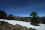 Araucaria Trees sit in late snow in Huerquehue National Park, in Chile's Lake District