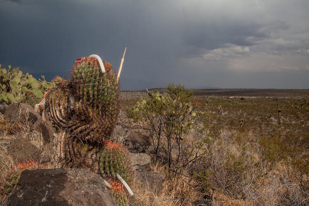 Ferocactus ricoperto di offerte di huicholes e pellegrini.<br /> Ferocactus covered by offers of wicholes and pilgrims.