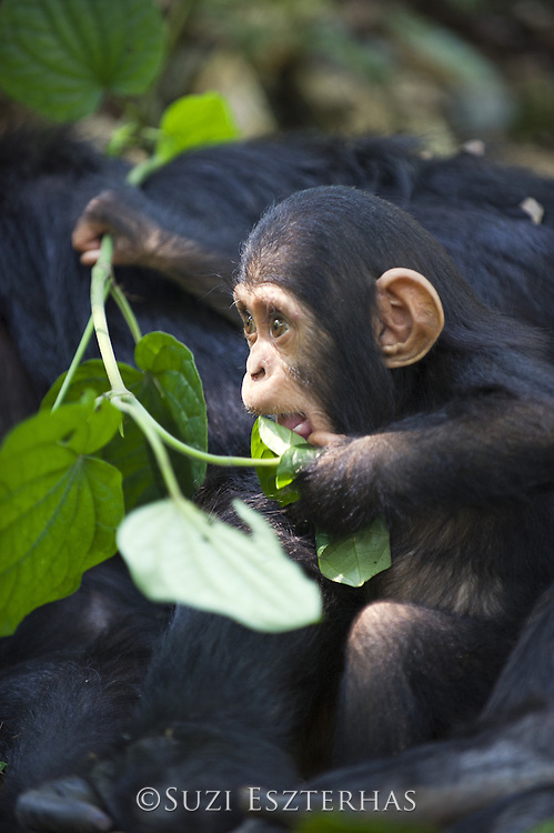Chimpanzee<br /> Pan troglodytes<br /> 4 month old infant playfully chewing on leaves<br /> Tropical forest, Western Uganda