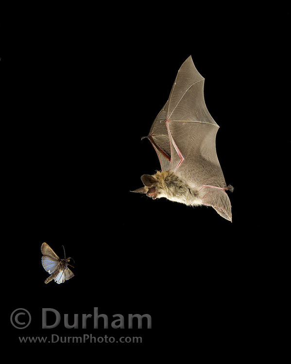 A hunting western blong-eared myotis (Myotis evotis) and a forest moth, at night in the Ochoco National Forest, Oregon. The moth and the bat were photographed in the wild and digitally combined for this image.