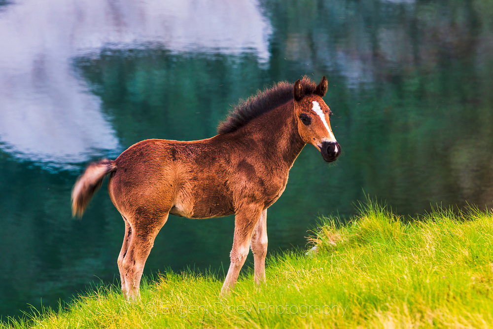 Little brown horse by a lake