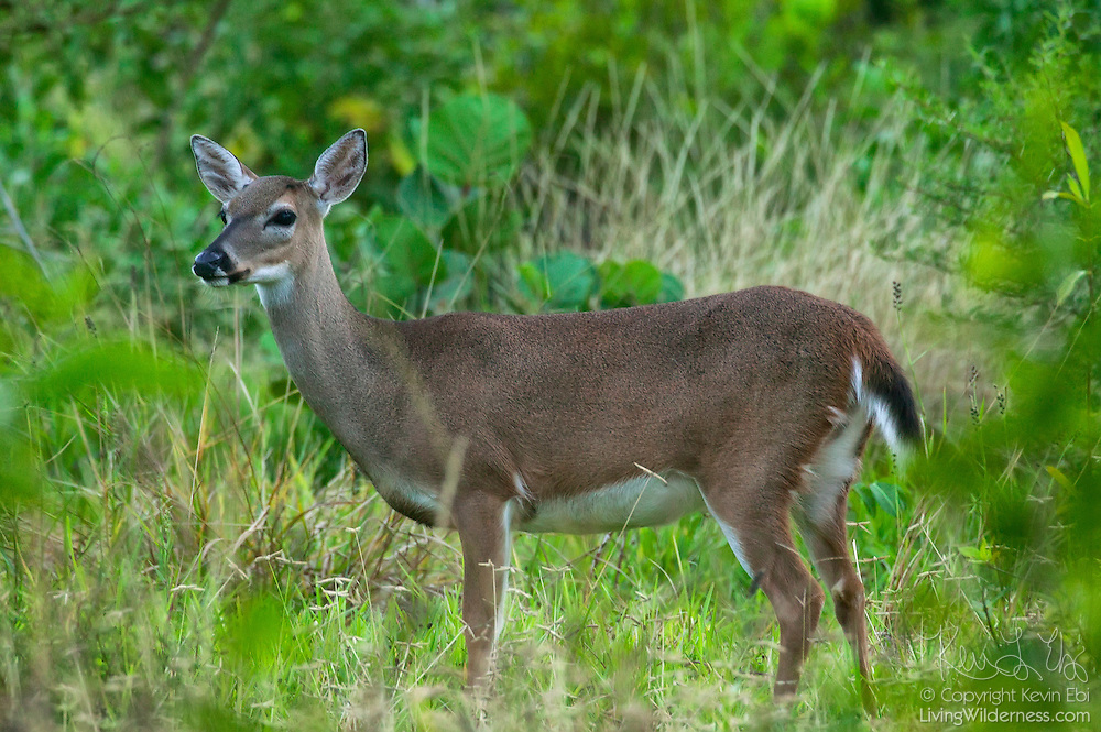 A key deer (Odocoileus virginianus clavium) rests in a grassy area on No Name Key, one of the Florida Keys. The key deer is North America's smallest deer, with a typical height of just 30 inches (76 cm) at their shoulders. Found only in the Florida Keys, the key deer is endangered, with a total population of only about 700-800. On average, 30-40 key deer are killed each year by vehicles.
