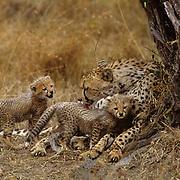 Cheetah, (Acinonyx jubatus) Mother grooming cubs nursing. Masai Mara Game Reserve. Kenya. Africa.