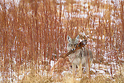 Coyote with elk carcass, Yellowstone National Park