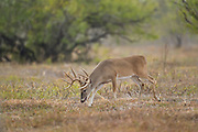 Trophy whitetail buck in Texas trailing a doe during the rut