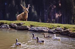 THEMENBILD - ein Rotwild Hirsch geht auf einen Teich zu, in dem Enten schwimmen, aufgenommen am 07. März 2019 in Aurach, Oesterreich a deer deer walks towards a pond where ducks swim, Austria on 2019/03/07. EXPA Pictures © 2019, PhotoCredit: EXPA/Stefanie Oberhauser