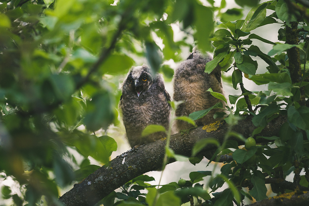 Two long-eared owl (Asio otus) owlets sitting in foliage and squeeking for food, Lazdona, Latvia Ⓒ Davis Ulands   davisulands.com