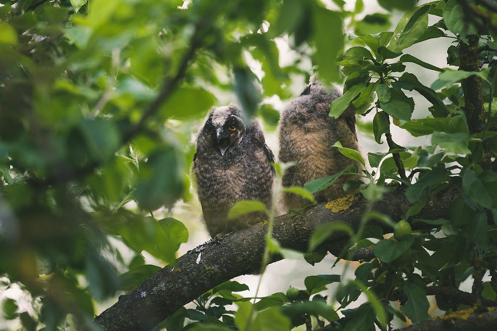 Two long-eared owl (Asio otus) owlets sitting in foliage and squeeking for food, Lazdona, Latvia Ⓒ Davis Ulands | davisulands.com