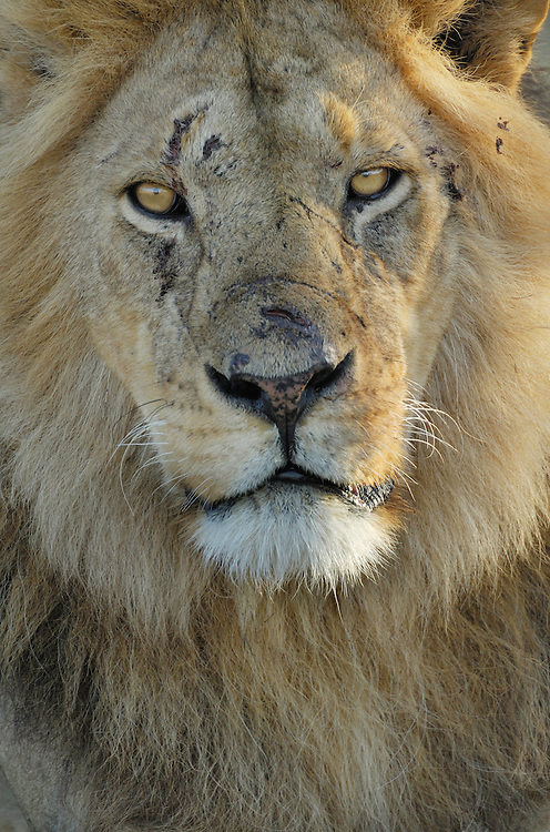 African lion, Panthera leo, Serengeti NP, Tanzania