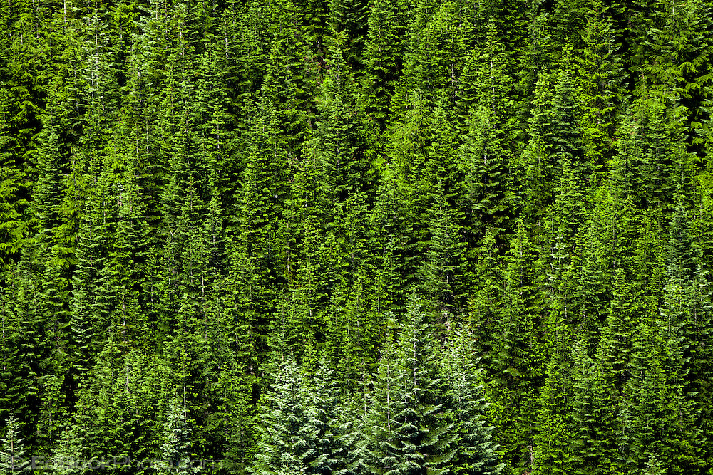 A coniferous forest on a mountainside, the trees mostly Noble Fir and Silver Fir -