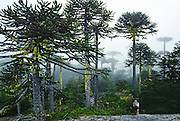 """Hear the warble of exotic birds as you walk through an enchanting Monkey Puzzle tree forest in Nahuelbuta National Park, Cordillera de Nahuelbuta, a coast range near Angol (north of Temuco), Chile, South America. Mysterious mists water a garden of yellow lichen draped over the trees. Branches form an umbrella of sharp leaves on a straight trunk which grows to over 100 feet high. Monkey Puzzle trees (Araucaria araucana) are conifers which are usually dioecious, where male and female cones grow on separate trees, though some individuals bear cones of both sexes. Its edible seeds (about 200 in each female cone) are similar to large pine nuts. Araucaria araucana, the national tree of Chile, is native to central and southern Chile and western Argentina. As the hardiest species of its genus, this tree has become popular in gardens. Unfortunately, due to logging, burning, grazing, and habitat conversion to Pinus radiata plantations, Araucaria araucana is listed as an endangered species by CITES (Convention on International Trade in Endangered Species of Wild Fauna and Flora). In France, the Monkey Puzzle tree is known as désespoir des singes or """"monkeys' despair."""" What international tourist literature calls the """"Chilean Lake District"""" usually refers to the foothills between Temuco and Puerto Montt including three Regions (XIV Los Ríos, IX La Araucanía, and X Los Lagos) in what Chile calls the Zona Sur (Southern Zone). Published in: 1) The """"Dinosaur Encyclopedia"""" 2007 by British publisher Dorling Kindersley; and 2) United States Fish and Wildlife Service, International Affairs web site concerning CITES."""
