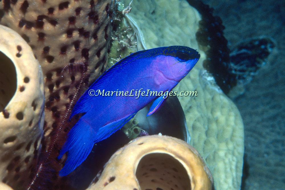 Blackcap Basslet inhabit deep reefs, often in or near recesses in Tropical West Paciifc; picture taken Grand Cayman.